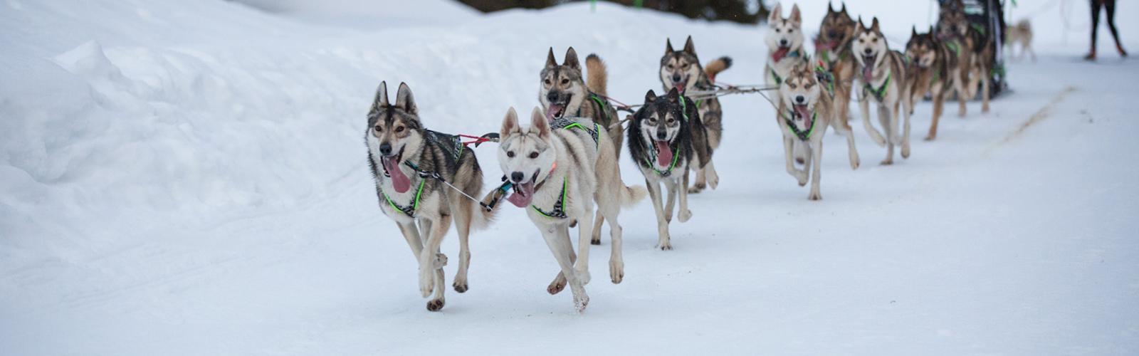 Les Crocs Blancs Sarthois - Activités chiens de traineaux<br>